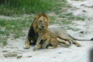 Lion and a cub on a safari in Tanzania