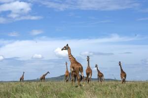 Serengeti giraffes on a Tanzania safari