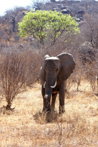 Tanzanian baby elephant on a safari
